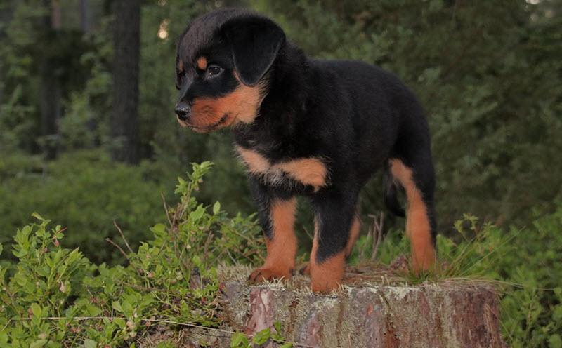 puppy rotweiler